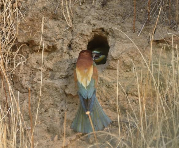 -ABEJARUCO EUROPEO (Merops apiaster)